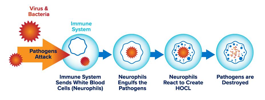 How HypoChlorous Acid Works